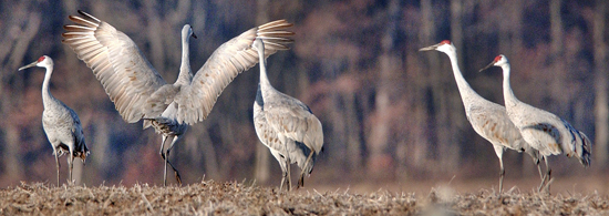 ADVANCE FOR SATURDAY, DEC. 3 AND THEREAFTER - In a Nov. 17, 2016 photo, a sandhill crane does a courtship dance in a harvested corn field near the Jasper-Pulaski Fish and Wildlife Area in Medaryville, Ind. Sandhill cranes that leave their northern nesting grounds every year stop by the Jasper-Pulaski Fish and Wildlife Area's wetlands between October and December on their way south for the winter. (J. Kyle Keener/Pharos-Tribune via AP)