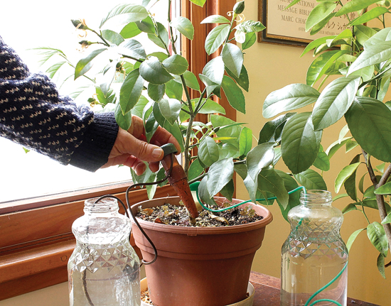 "This photo shows a lemon tree in New Paltz, N.Y. The plant will be able to go a long time without water because of the ""watering cone"" being pushed into the soil; the cone draws water from the neighboring jar as the potting soil dries out."