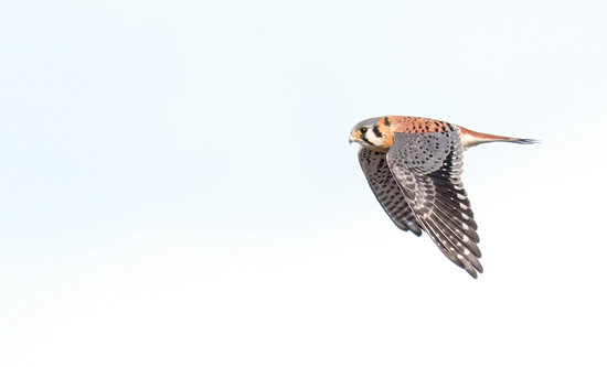 PHOTO COURTESY OF DAVID BROWN A male American kestrel flies over Williamsport on Jan. 5.