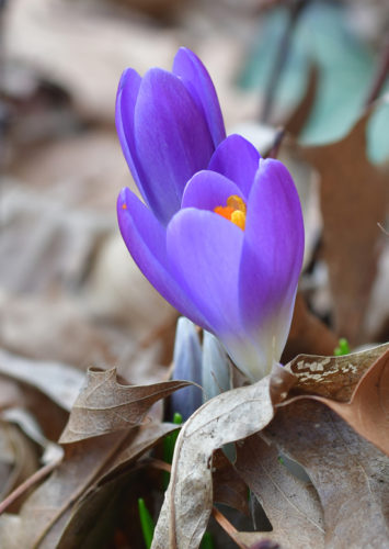 MARK NANCE/Sun-Gazette Crocuses begin to push through the leaves next to the South Williamsport Church of Christ on Wednesday. The bulbs were planted by the late Mary Askey many years ago. She cared for the flowerbeds for many years until she left the area. The crocus still bloom each spring, along with grape hyacinth, daffodils and other flowers.