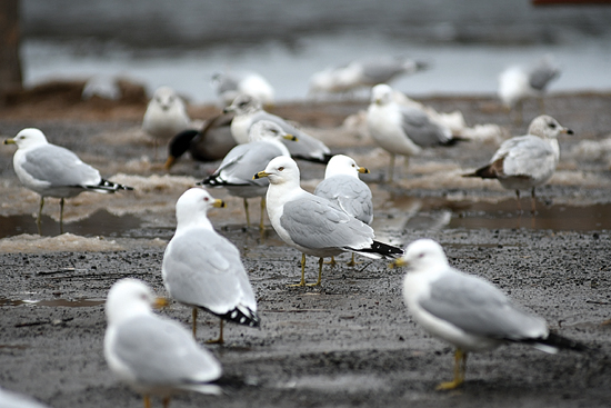 MARK NANCE/Sun-Gazette Ring-billed gulls forage for food at Indian park Sunday afternoon. Ring-billed gulls often are seen this time of year on lakes and rivers as they migrate through.