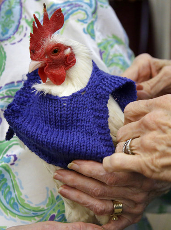 "In this photo Nancy Kearns, a resident of the Fuller Village retirement home holds ""Prince Peep,"" a miniature Serama rooster, as the bird is fitted with a sweater at the retirement home in Milton, Mass. The sweater was one of many knitted by group of women in the retirement home for chickens in a neighboring nonprofit education program. (AP Photo/Steven Senne)"