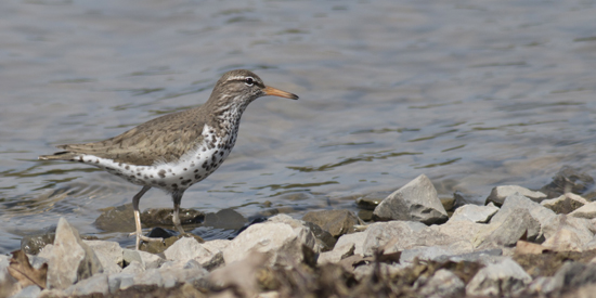 A spotted sandpiper forages at  Montour Preserve  on April 17, 2014.      PHOTO COURTESY  OF DAVID BROWN