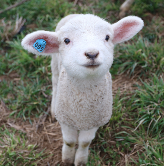 One of the over 200 Coopworth lambs born at Owens Farm at 2611 Mile Post Road between Sunbury and Danville on Thursday March 30, 2017. KAREN VIBERT-KENNEDY/Sun-Gazette