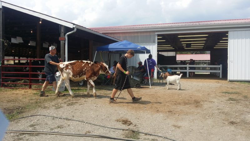 Photo by Alan Olson 4-H participants lead livestock from barn to barn Monday afternoon, while others care for their animals in the heat at the Marshall County fairgrounds Monday.