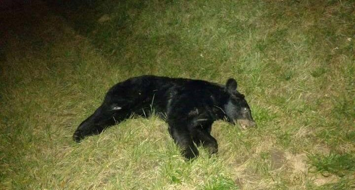 Photo Provided A motorist struck this black bear, shown in an image posted on Facebook, on Interstate 70 west of St. Clairsville late Wednesday. The bear died as a result of the crash, and the vehicle was totaled but no one inside the car was injured.