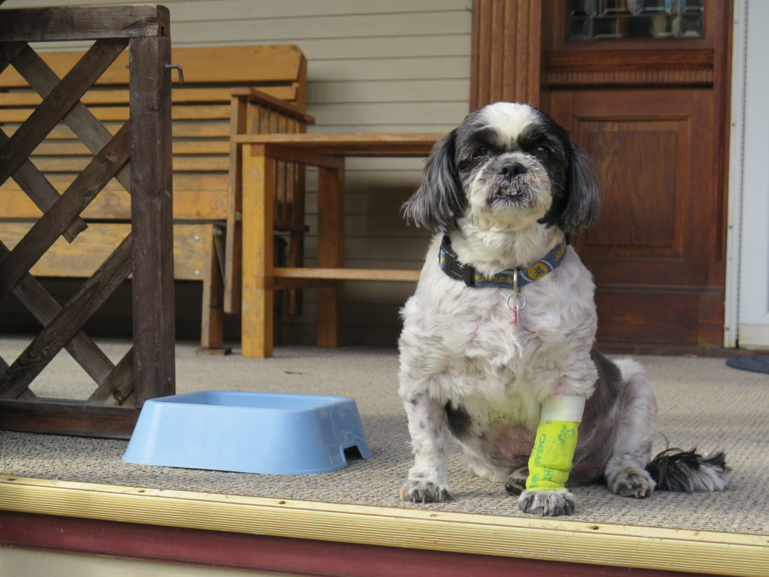 Photo by Joselyn King Max the shih tzu is recovering at his home on Maple Avenue in Woodsdale following an attack by two rottweilers last week.
