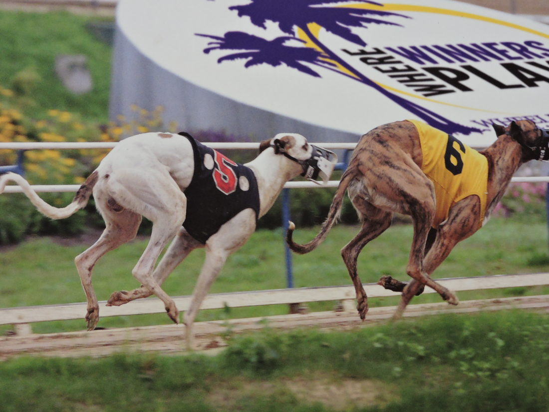 Submitted Photo the future of greyhound racing at Wheeling Island Hotel-Casino-Racetrack is in jeopardy, as West Virginia legislators are looking to slash the approximately $15 million annually paid to breeders via the Greyhound Breeding Development Fund.
