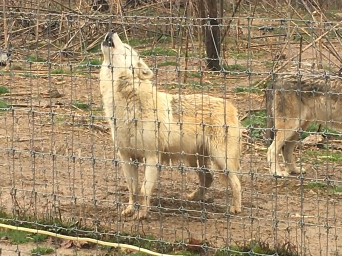 Sophie joins other wolves in a round of howling during our tour as sirens wailed in the distance. The Wolf Sanctuary of PA offers tours year-round. For tour information, or to sponsor a wolf, visit www.wolfsanctuarypa.org or find them on Facebook. Photo by Betsy Bethel