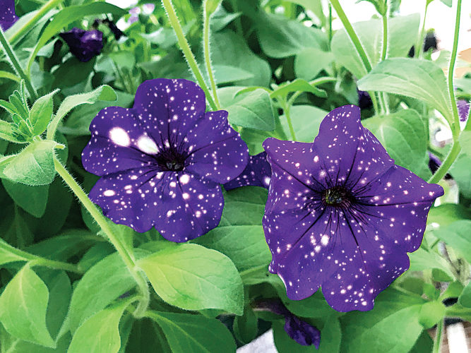 Night sky petunias are just one new breed of plant at MiMi's Greenhouse this year.