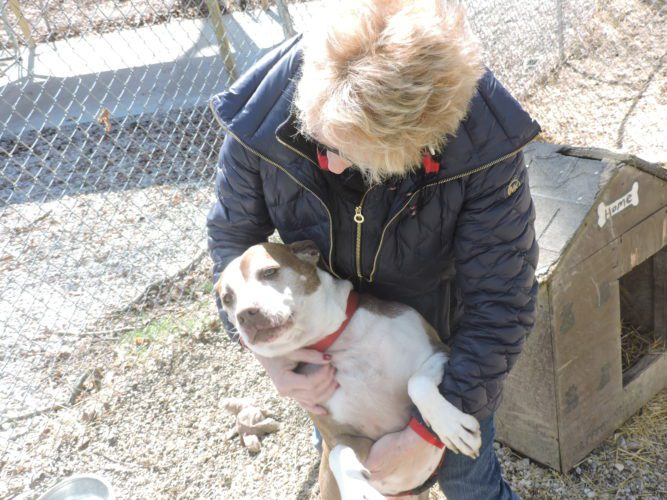 T-L Photo/ROBERT A. DEFRANK Belmont County Animal Shelter Director Angela Hatfield shows Ciarra, one of the pit bulls awaiting adoption at the shelter. Hatfield spoke about the considerations prospective pit bull owners must take before obtaining the dogs.