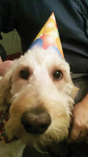 Times Observer photo by Brian Ferry Nala, a goldendoodle licensed in Warren County, holds still for a photo wearing a party hat.