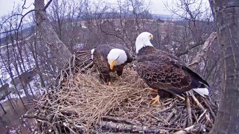 http://www.pgc.pa.gov/ Eagle Cam 2015
