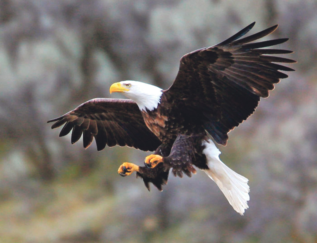 Photo submitted to Times Observer The annual Eagle Watch around Kinzua Dam will be held from 8 a.m. to 2 p.m. Saturday, Feb. 4, at Big Bend Recreation Area.