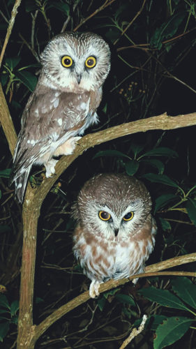 Photo submitted to Times Observer Owls photographed by John Fedak.