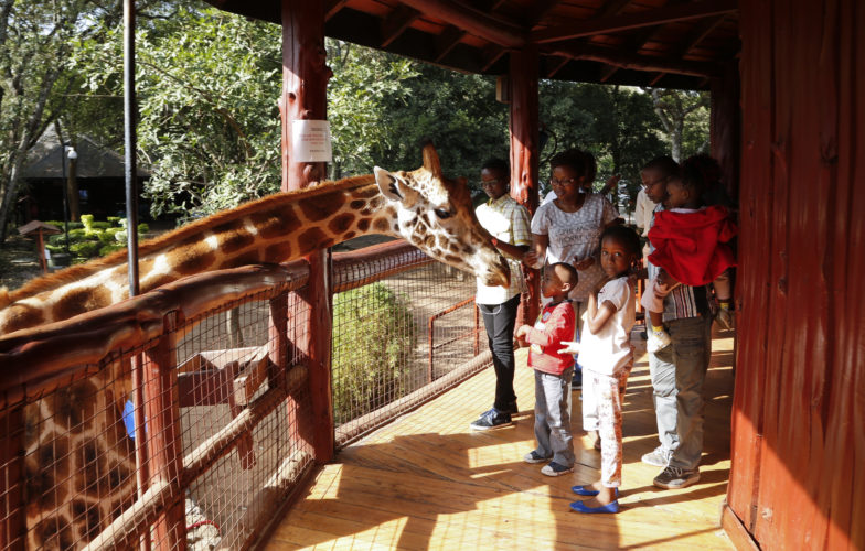 AP PHOTO A giraffe bends over to take food pellets from Kenyan visitors at the Giraffe Centre in Karen, on the outskirts of Nairobi, in Kenya Wednesday.