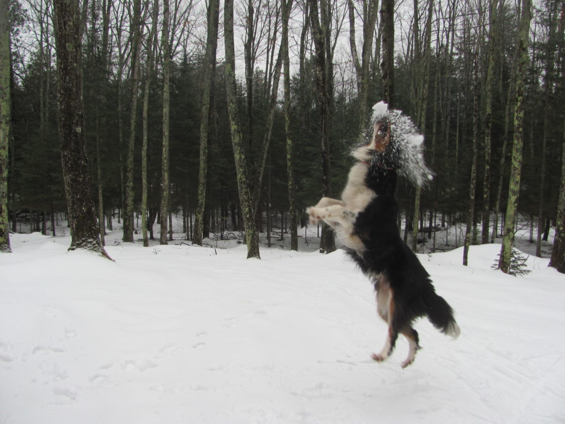 dog tracks in the u p winter snow news sports jobs daily press courtesy photo ambo the collie catches a snowball